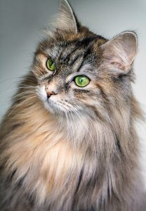 Torte shell maine coon